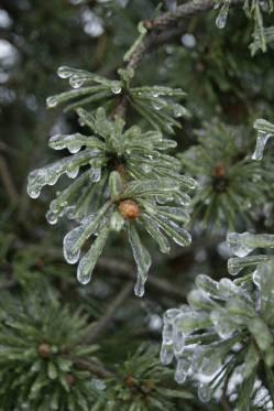 These frozen pine needles become a flower with the pine cone in its centre