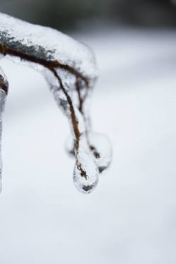The fruitless twigs have become berries of ice