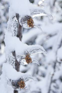The wind has frozen the rain on these berries so they look like dragon's claws